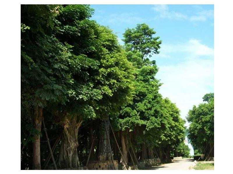 绿化苗木哪里好/广州森航