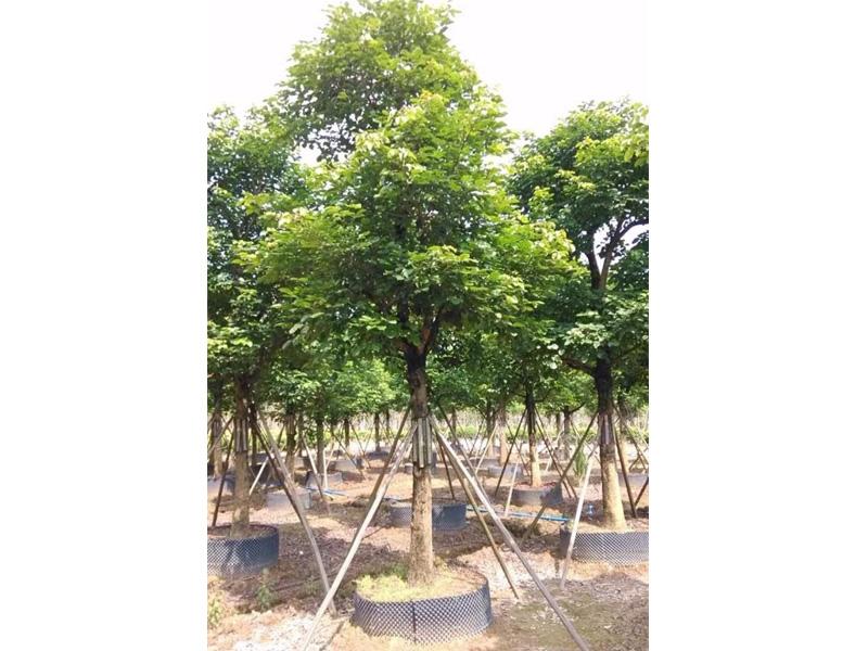哪里的木棉质量好 广东声誉好的园林绿化种植苗木基地项目推荐