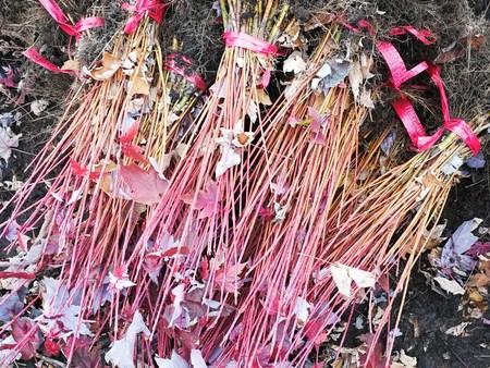 美国红枫哪里有 想要实惠的美国红枫就来铁岭精诚苗木
