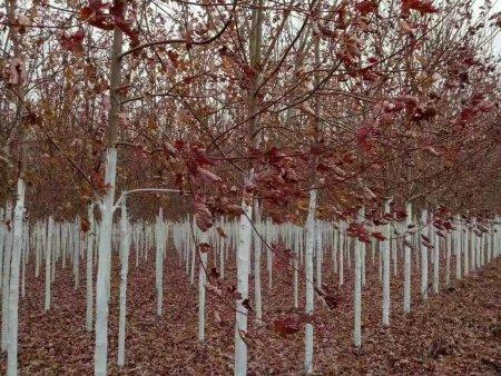 美国红枫幼苗价格-大量出售辽宁美国红枫