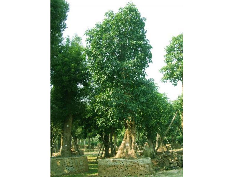 广州森航园林景观工程可靠的园林绿化苗木栽培项目推荐-秋枫树的价格
