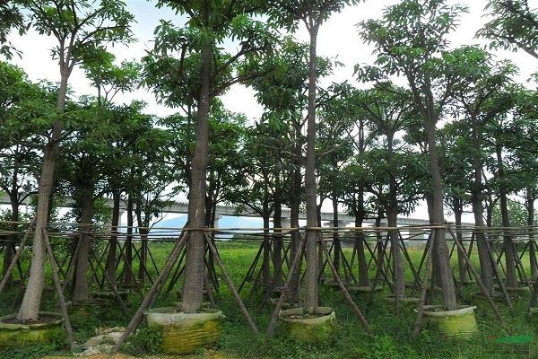 提供优良园林绿化苗木栽培项目-最新秋枫树价格