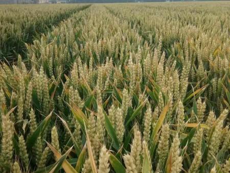 成穗率好的麦种供应商|麦种时时更新批发价格