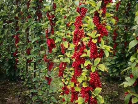 七台河五味子苗作用-供应辽宁易成活的五味子苗
