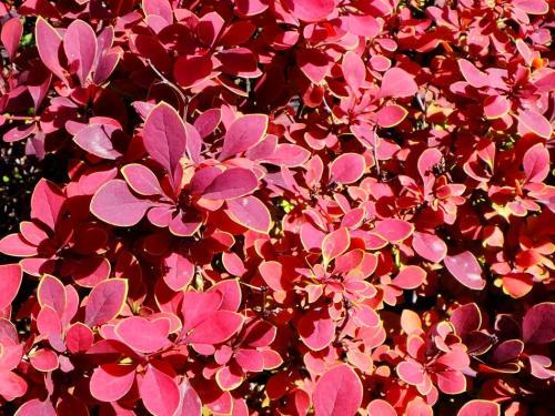 选择铁岭紫叶小檗|辽宁紫叶小檗|吉林紫叶小檗就来开原兴海苗圃