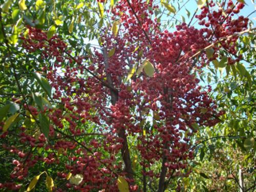 青海桃叶卫矛-供应辽宁易种植的桃叶卫矛