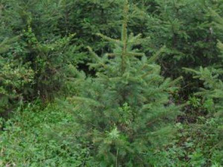 丹東云杉-想要易種植的云杉就來桓仁劉家苗圃