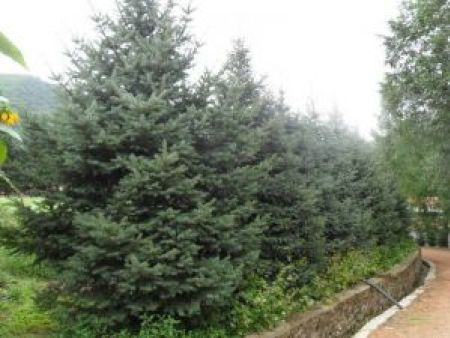 大连云杉|供应辽宁易种植的云杉