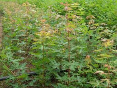 本溪云杉育苗的方法有哪些你知道了吗?