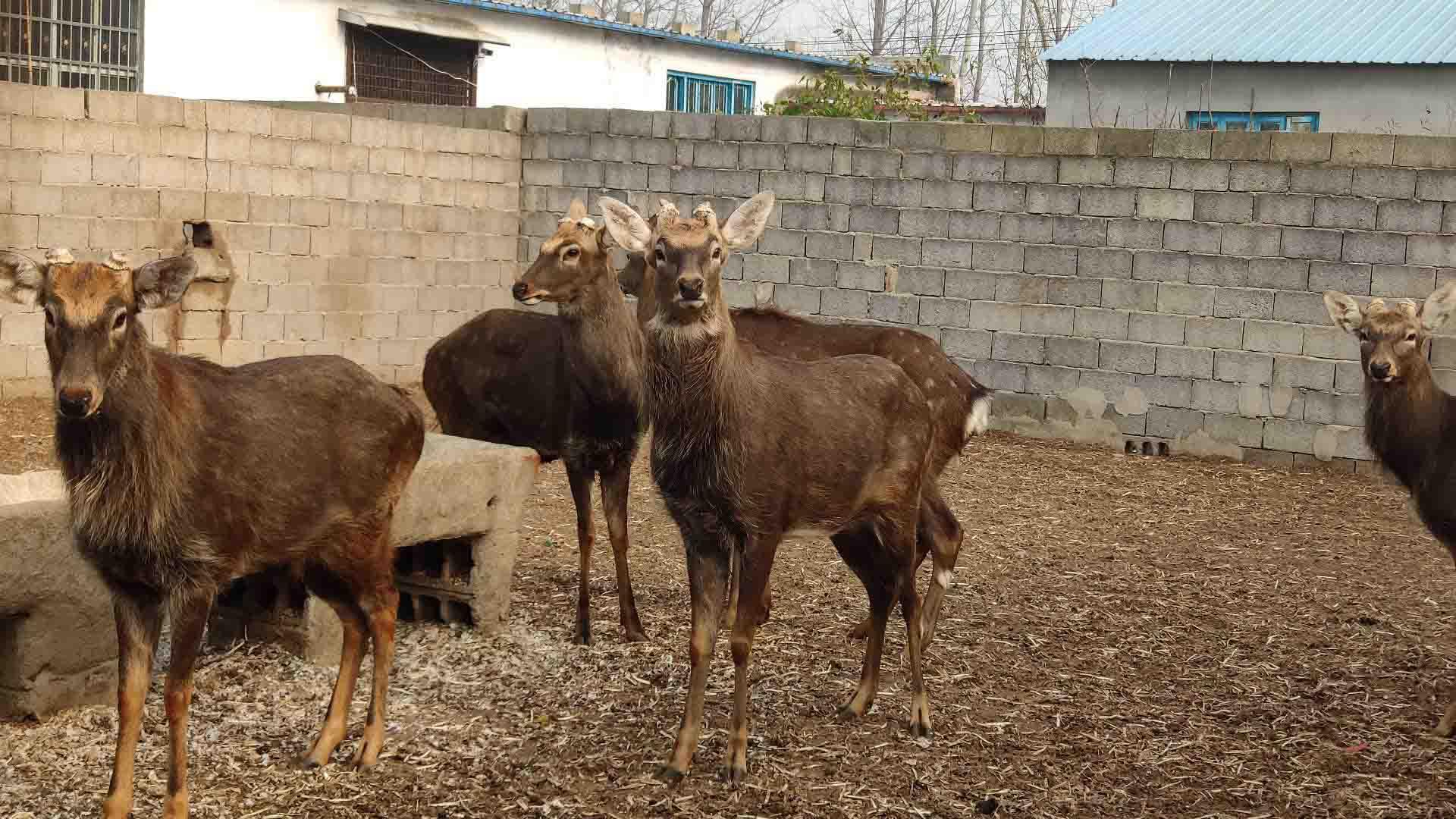 平邑哪里有养鹿的,信誉好的梅花鹿养殖厂商