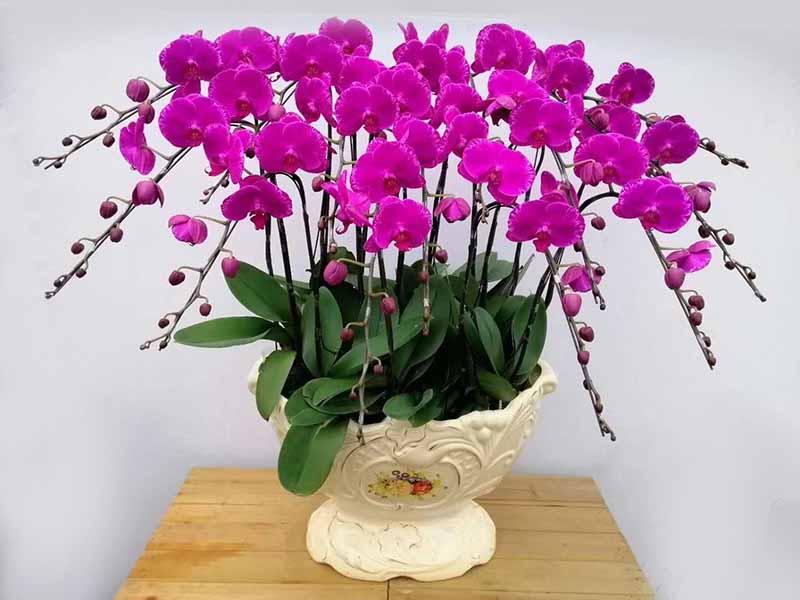 蝴蝶兰组合盆|价格优惠的蝴蝶兰哪里有供应