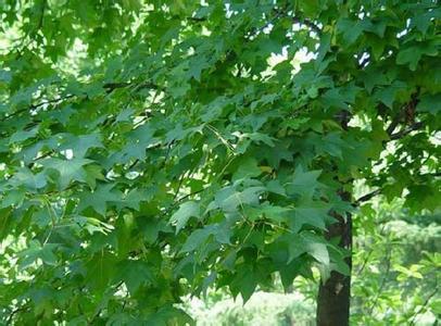 郑州五角枫苗哪家好-想要优惠的五角枫苗就来胜利苗圃