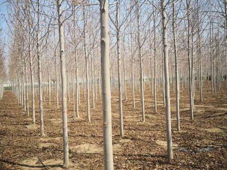 东北美国红枫,美国红枫的优良品种找铁岭精诚苗木
