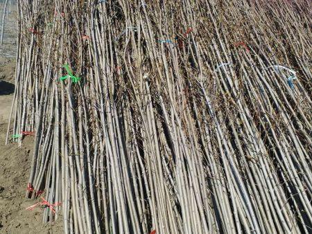 辽阳美国红枫公司-想要优良的美国红枫就来铁岭精诚苗木