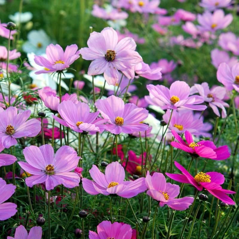 波斯菊种植基地-潍坊优良的波斯菊供应