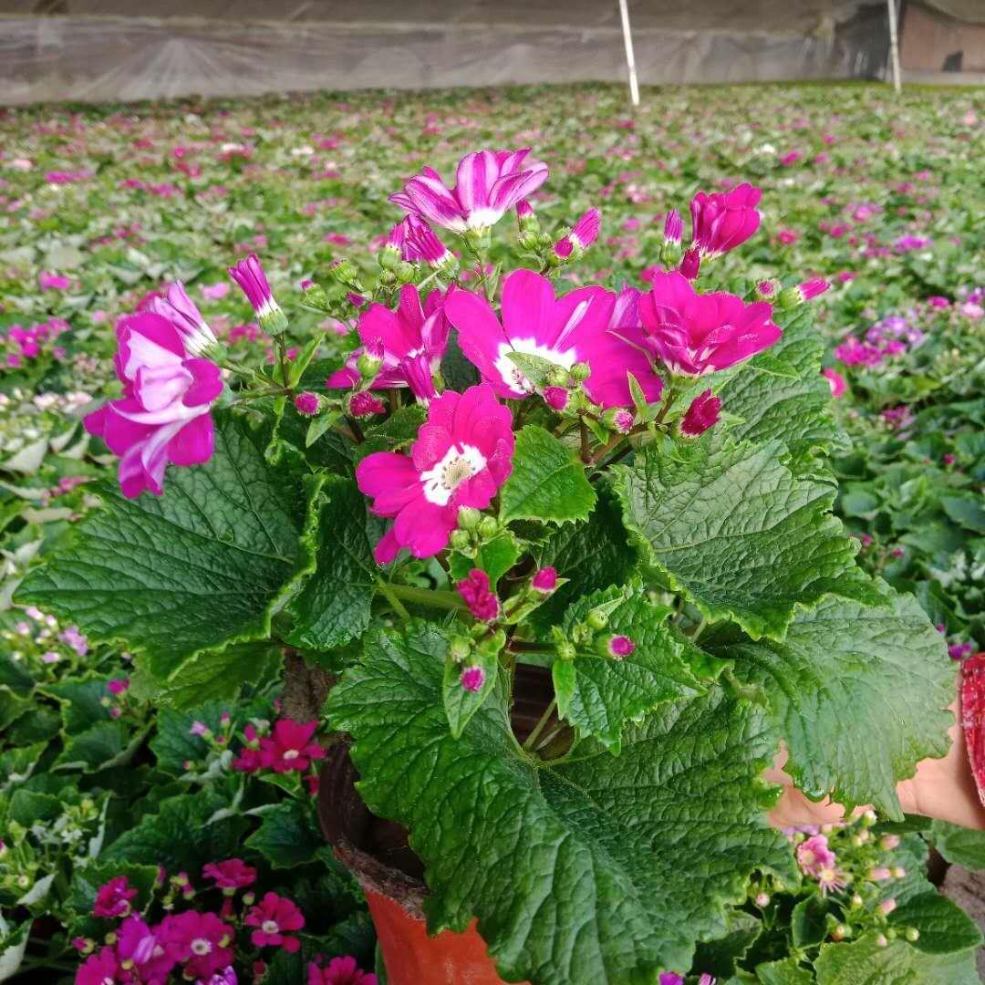 山西瓜叶菊-哪里能买到成活率高的瓜叶菊