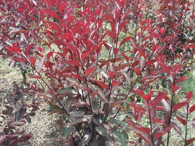 內蒙古紫葉矮櫻批發|供應甘肅銷量好的西北紫葉矮櫻