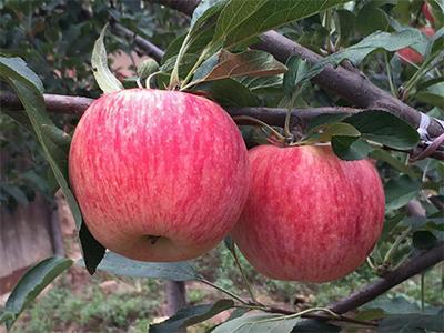 富硒蘋果-優惠的蘋果出售