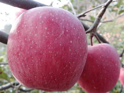 南通苹果厂家直销|想要选购苹果就来华隆种养