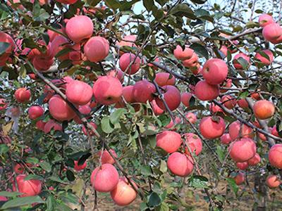 烟富8号-华隆种养_苹果品种优异