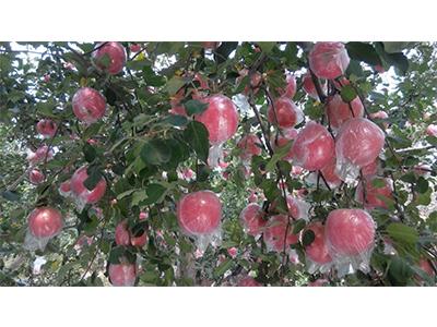 苹果优惠|山西优良苹果批发
