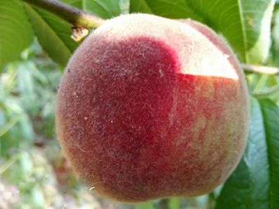 有機黑紫桃_口碑好的桃子出售