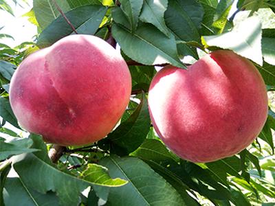 晋红蜜桃|优良的桃子推荐