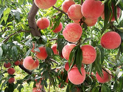 早红不软-供应山西实惠的桃子