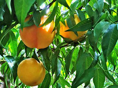 白油桃_供應品種好的桃子