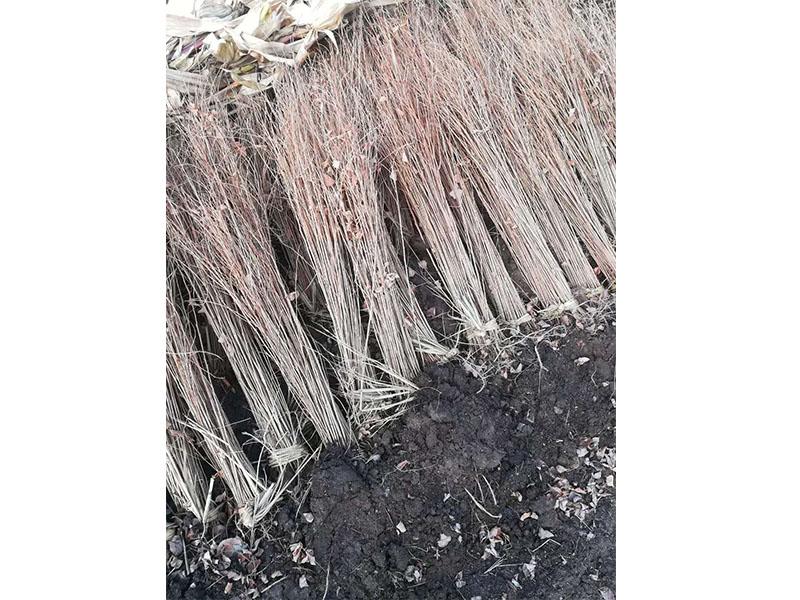护坡植物紫穗槐-紫穗槐-选兄弟园林