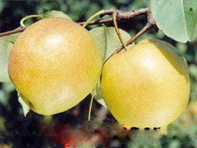 玉露香梨厂家推广|想要品种好的玉露香梨就来华隆种养