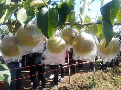 梨价格|华隆种养_优良玉露香梨供应商