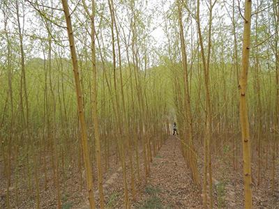 安徽竹柳优惠-山西哪里有出售竹柳