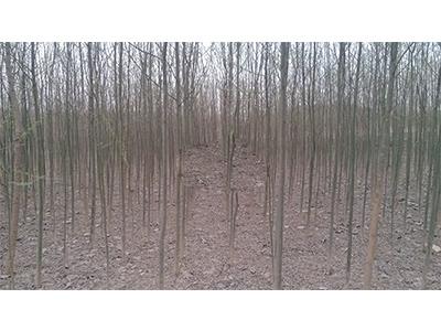 上海竹柳厂家直销-山西哪家竹柳供应商好