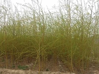 上海竹柳廠家直銷-供應山西優良的竹柳