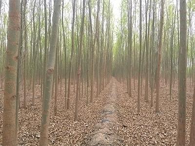 竹柳厂家直销-供应山西成活率高的竹柳