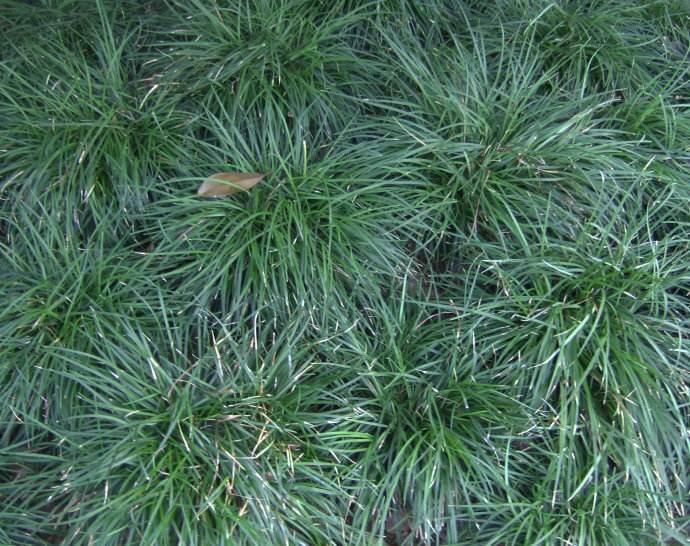 麦冬基地-供应潍坊优惠的麦冬
