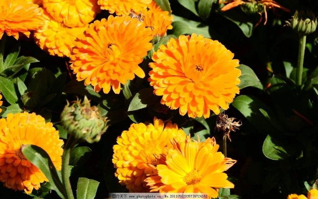 格桑花|波斯菊|硫华菊|金盏菊|虞美人花种