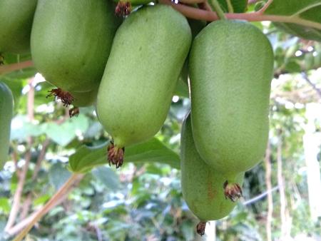 黑龙江软枣猕猴桃批发商-口碑好的软枣猕猴桃出售