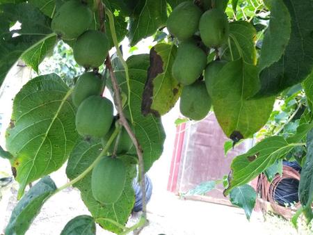 沈阳软枣猕猴桃苗-专业供应软枣猕猴桃苗