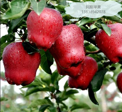 哪里卖苹果苗,品种好的苹果苗哪里买