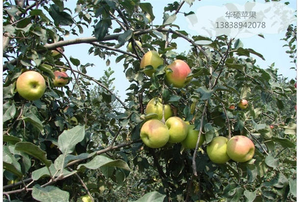 苹果苗什么时候种|高质量的苹果苗出售