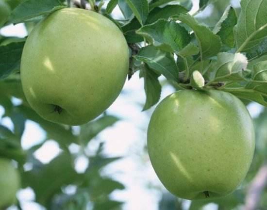 那里有苹果苗 购买苹果苗就选红专种苗场