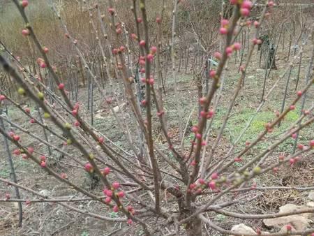 沈阳黑果腺肋花楸|供应辽宁抢手的北美冬青