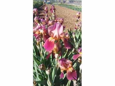 哪里有卖鸢尾种植基地-临洮县飞达花木提供有品质的西北鸢尾