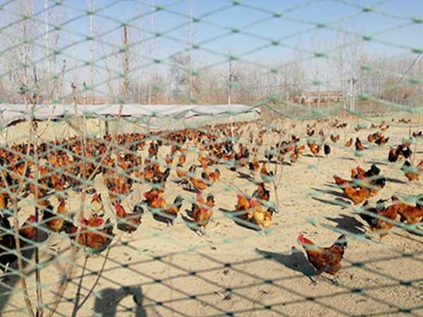 笨公鸡销售_有品质的笨公鸡哪里有供应