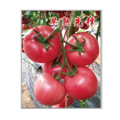 【呦吼~】寿光西红柿种子!!速速来抢喽~抗TY西红柿种子!!