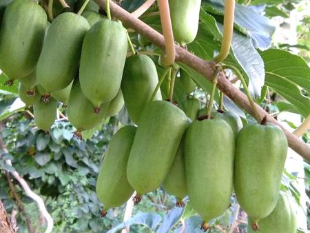 錦州圓棗種植-圓棗找寬甸藍岳軟棗獼猴桃_品種優良