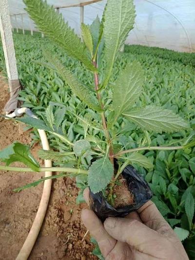 马鞭草花海用苗-价位合理的柳叶马鞭草就在奥澜花卉苗木