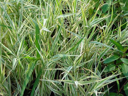 天津水生玉带草|潍坊优良的水生玉带草批发